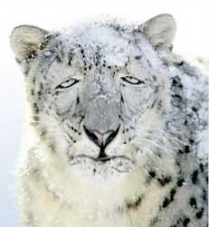sickleopard